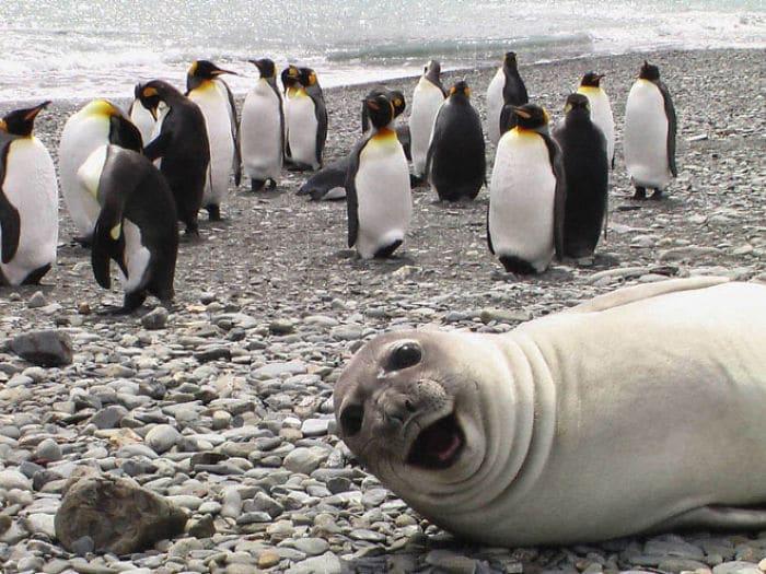 30 fotos divertidas de focas que não conseguem conter o riso 26