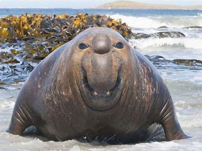 30 fotos divertidas de focas que não conseguem conter o riso 30
