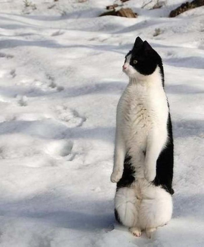 30 gatos que decidiram fingir ser pinguins 7