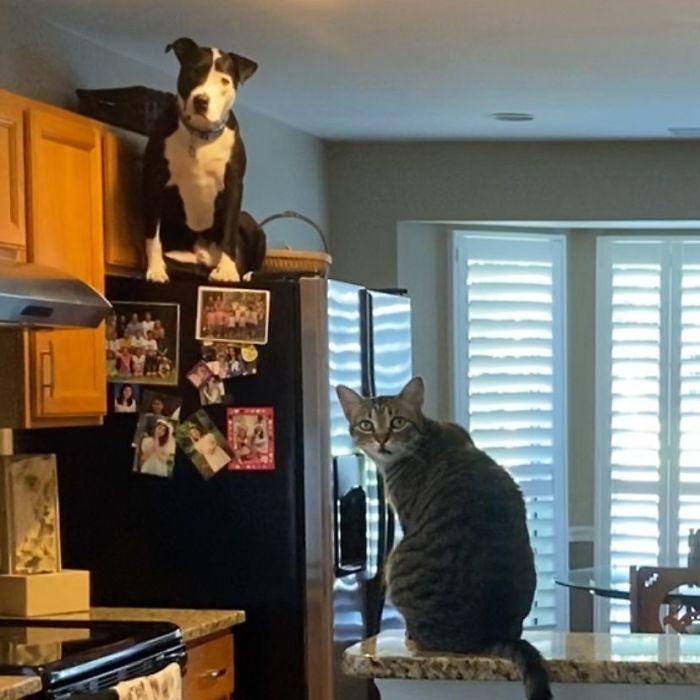 Pit Bull que pensa que é um gato 2