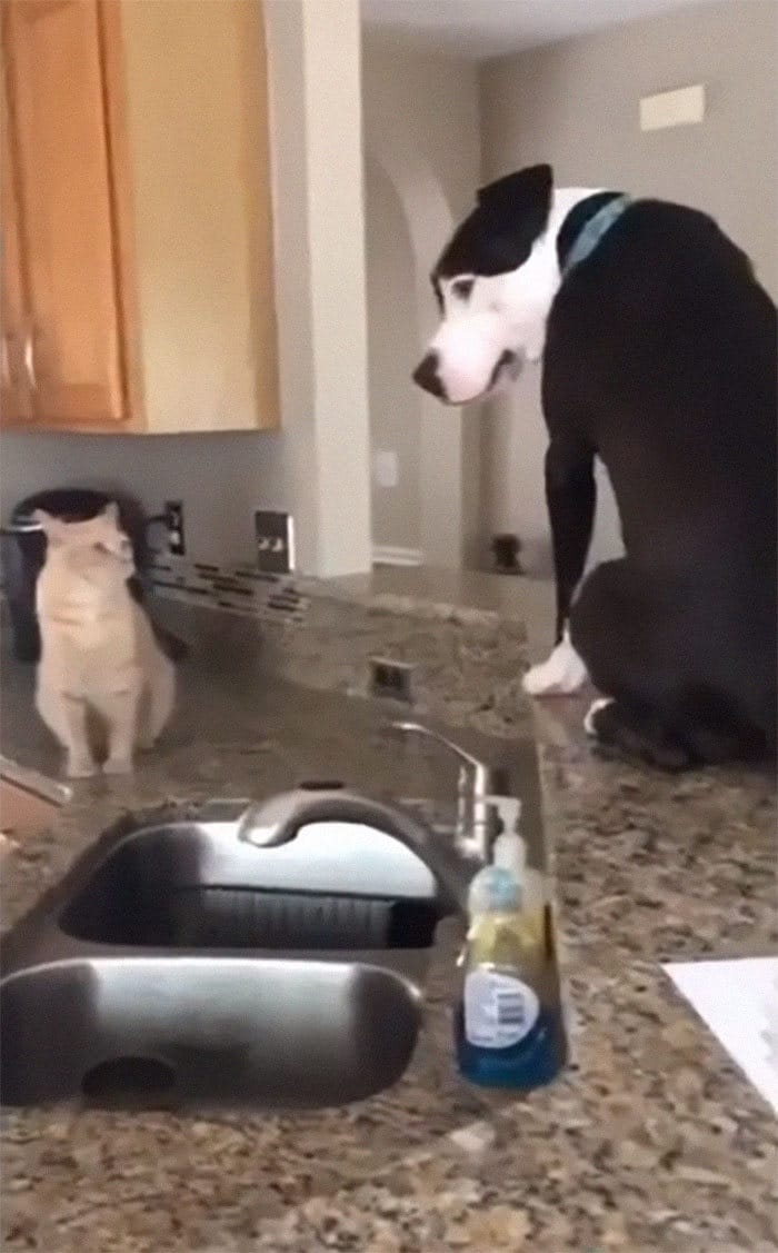 Pit Bull que pensa que é um gato 6