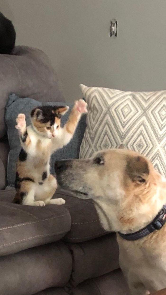 39 fotos divertidas de gatos perturbando cachorros 4