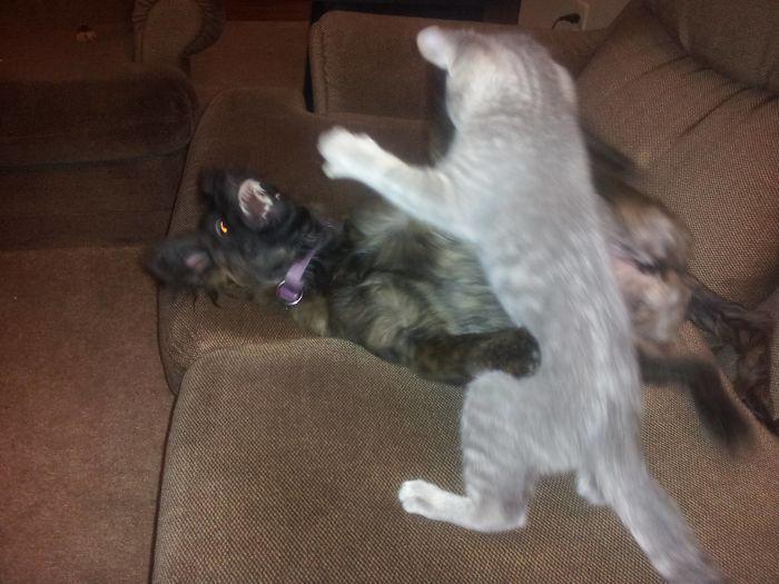 39 fotos divertidas de gatos perturbando cachorros 6