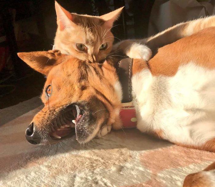 39 fotos divertidas de gatos perturbando cachorros 13