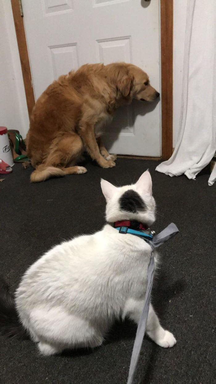 39 fotos divertidas de gatos perturbando cachorros 16