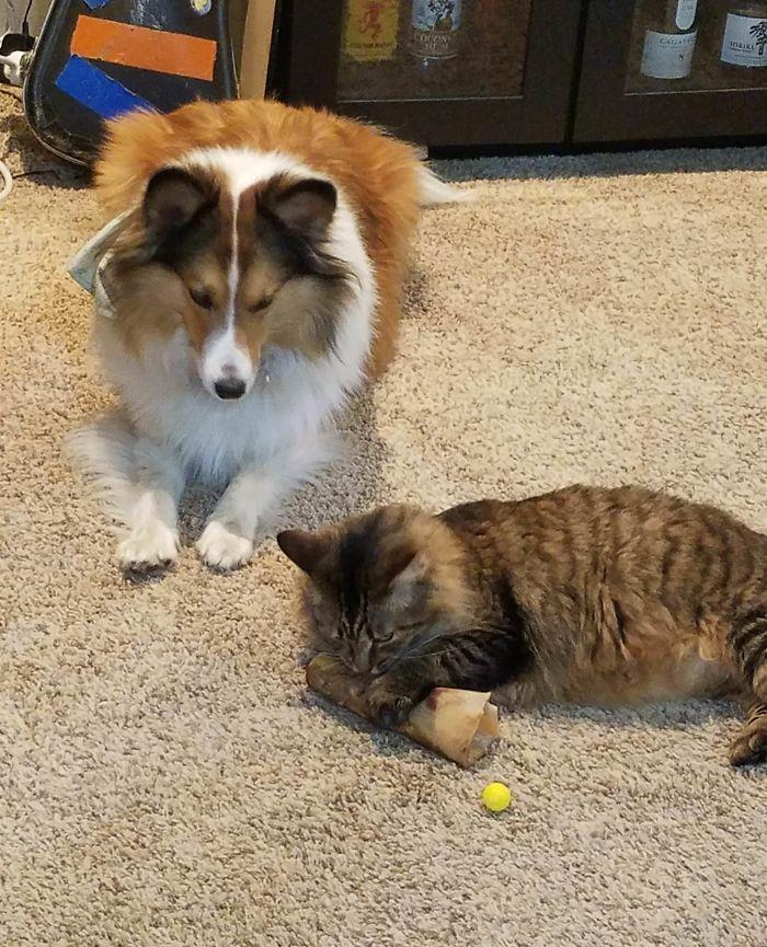 39 fotos divertidas de gatos perturbando cachorros 17