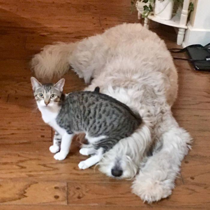39 fotos divertidas de gatos perturbando cachorros 20
