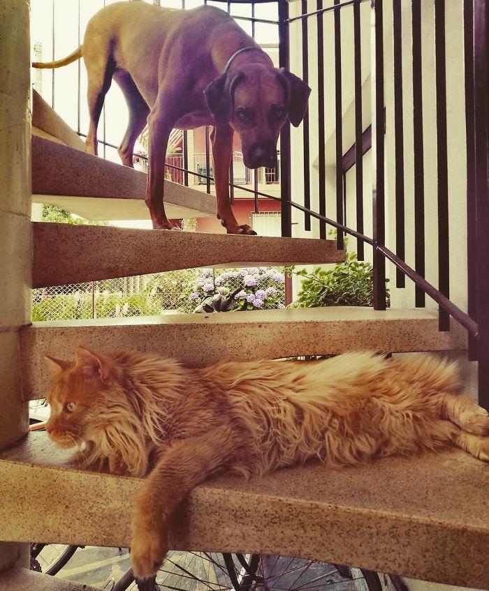 39 fotos divertidas de gatos perturbando cachorros 22