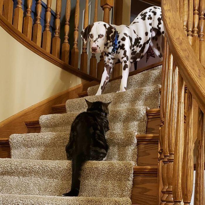 39 fotos divertidas de gatos perturbando cachorros 24