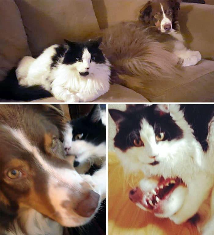 39 fotos divertidas de gatos perturbando cachorros 30