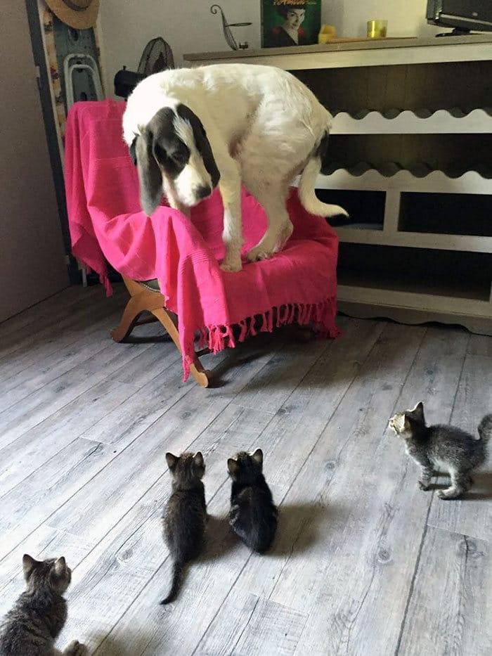 39 fotos divertidas de gatos perturbando cachorros 31