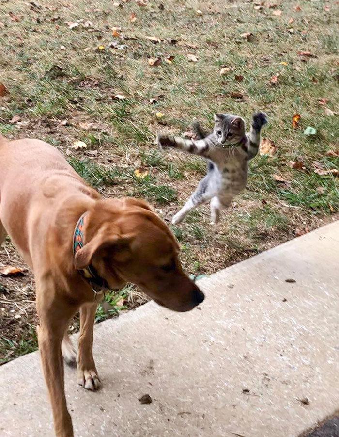 39 fotos divertidas de gatos perturbando cachorros 33