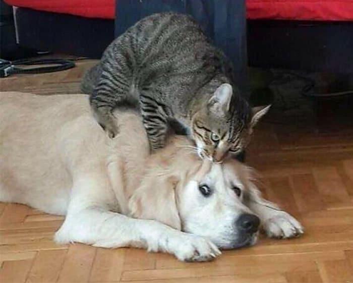 39 fotos divertidas de gatos perturbando cachorros 34