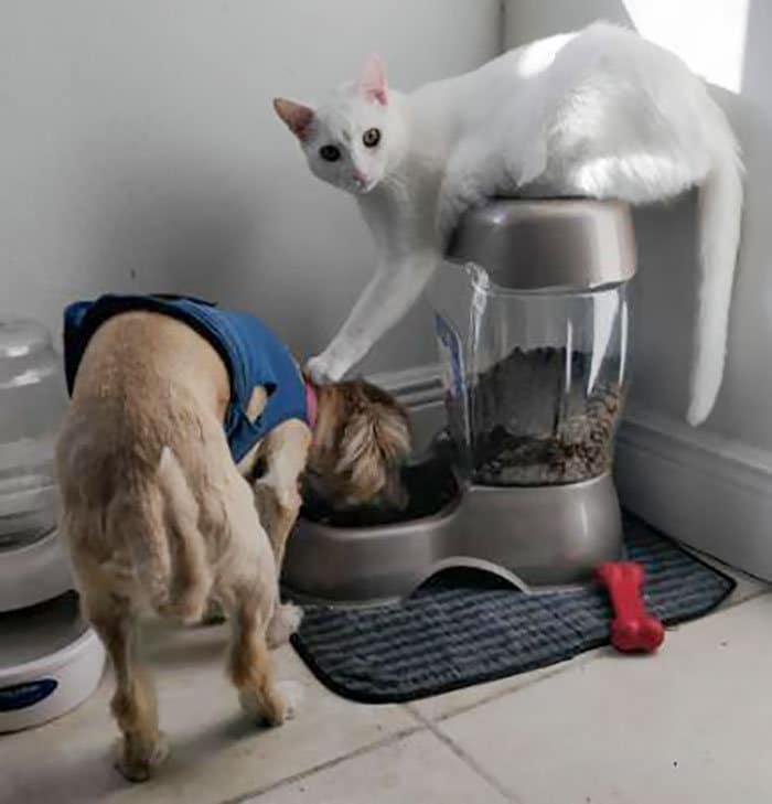 39 fotos divertidas de gatos perturbando cachorros 36