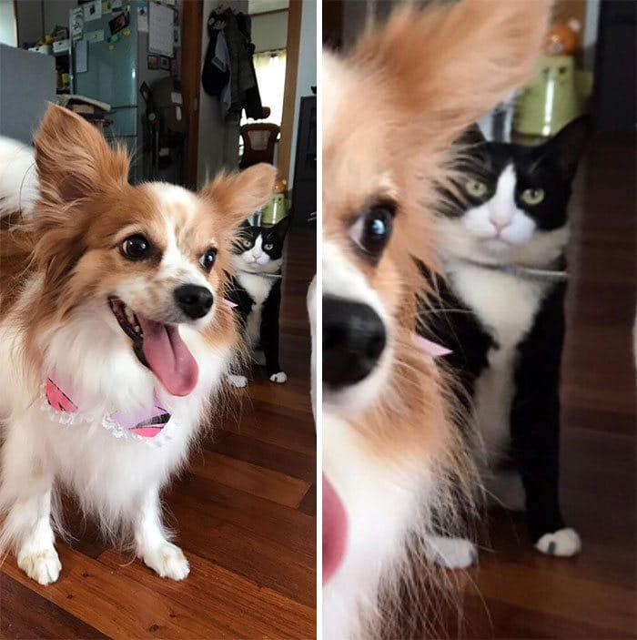 39 fotos divertidas de gatos perturbando cachorros 37