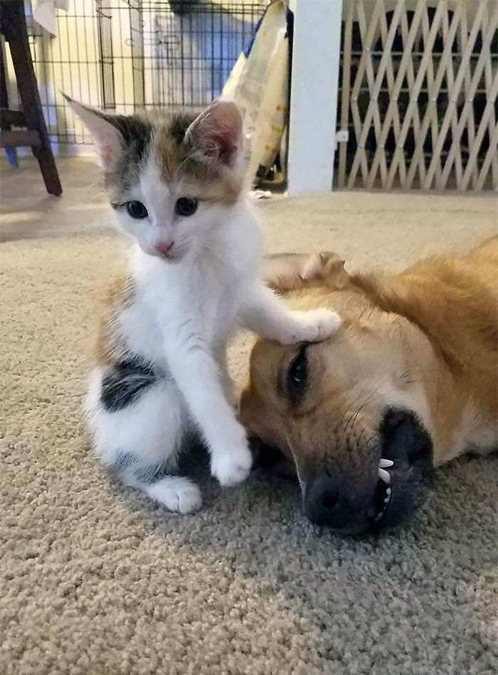 39 fotos divertidas de gatos perturbando cachorros 38