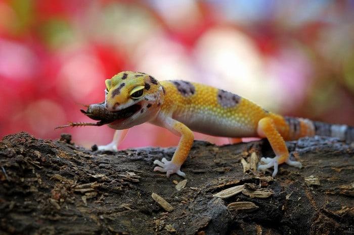 Por que nunca devemos perseguir lagartixas 3