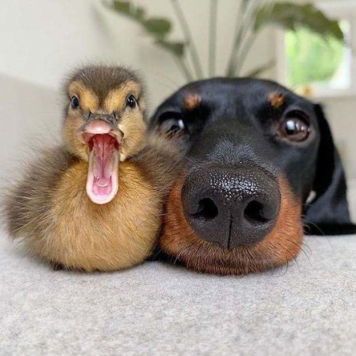 Se você acha que o mundo é terrível, essas 40 amizades com animais podem mudar sua opinião 16