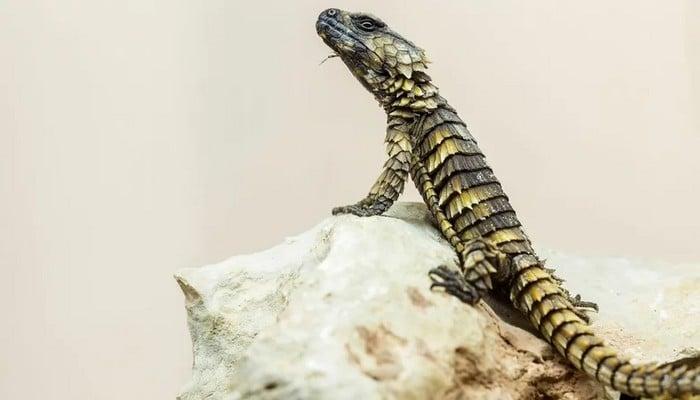 Seria um filhote de dragão? É impressionante essa espécie 6