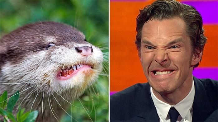 Rumores confirmados: Benedict Cumberbatch é realmente uma lontra 18
