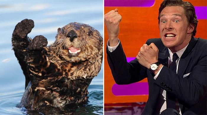 Rumores confirmados: Benedict Cumberbatch é realmente uma lontra 19