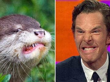 Rumores confirmados: Benedict Cumberbatch é realmente uma lontra 41