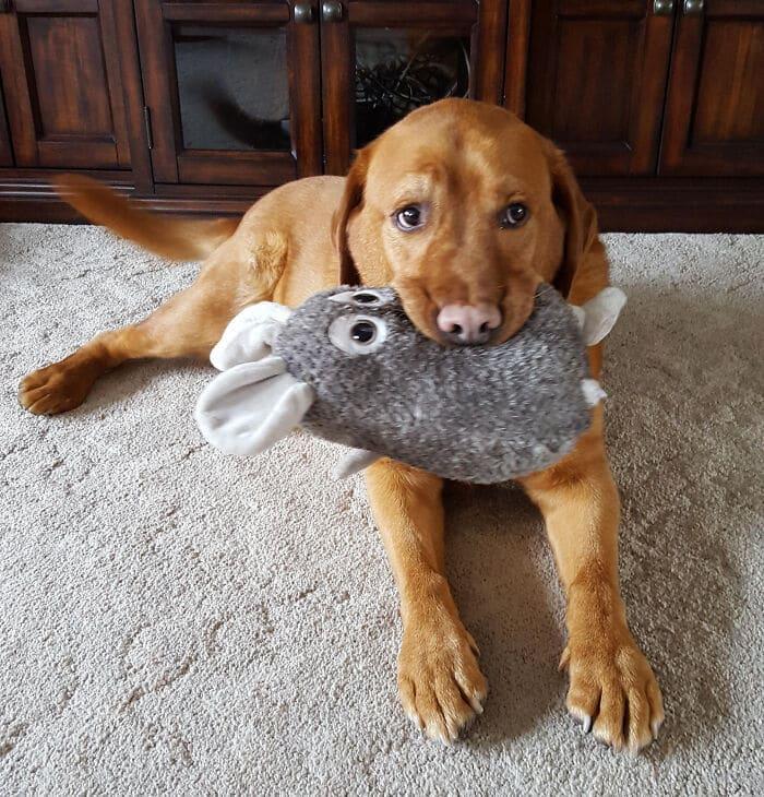 35 fotos de animais de estimação que recusa de separar de seus brinquedos favoritos 2