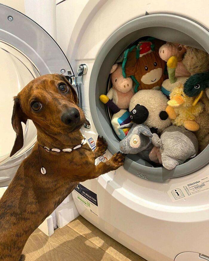 35 fotos de animais de estimação que recusa de separar de seus brinquedos favoritos 7