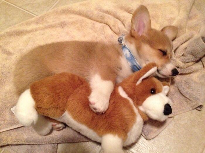 35 fotos de animais de estimação que recusa de separar de seus brinquedos favoritos 10