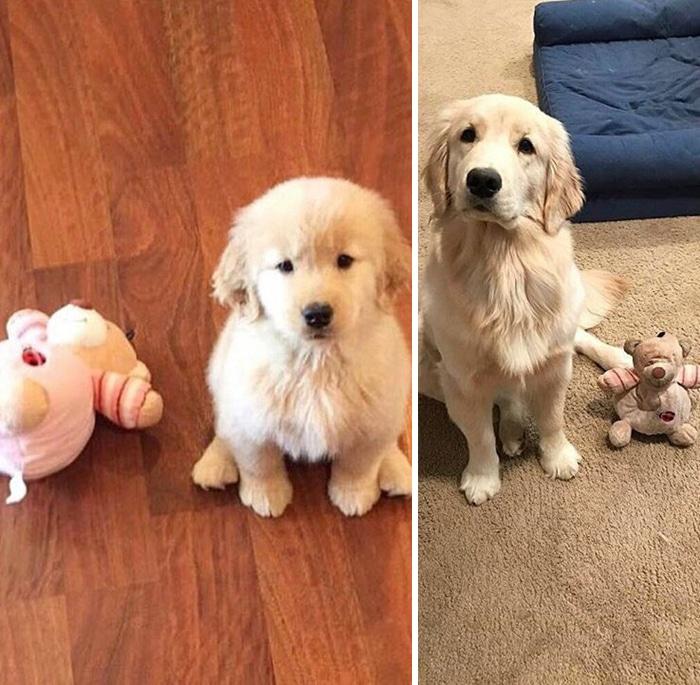 35 fotos de animais de estimação que recusa de separar de seus brinquedos favoritos 31