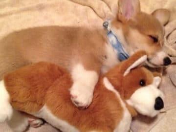 35 fotos de animais de estimação que recusa de separar de seus brinquedos favoritos 29