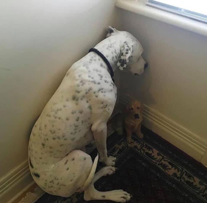 34 fotos de cachorro para o desafio Guilty Dog 35