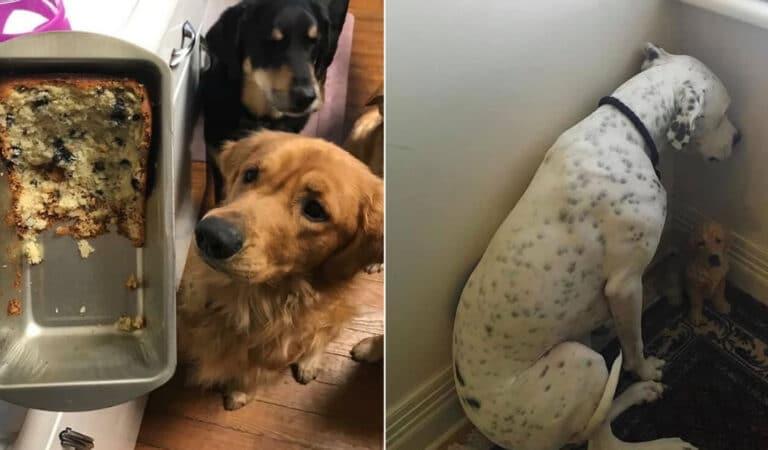 34 fotos de cachorro para o desafio Guilty Dog 191