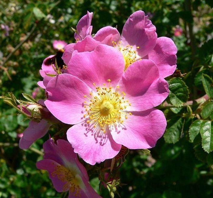 20 flores nacionais de diferentes países 4