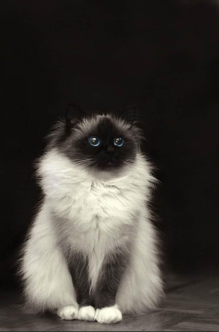 34 fotos de gatos supermodelos que certamente sabem fazer uma pose 14