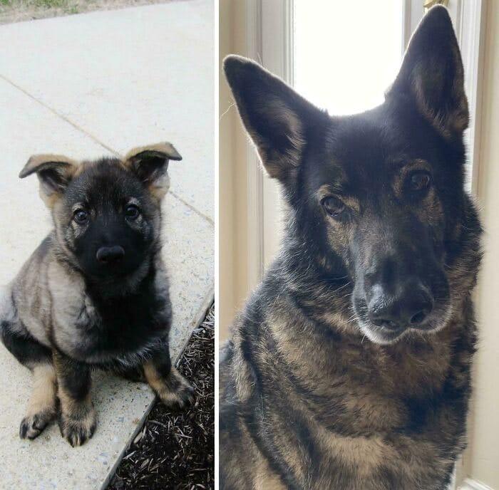 40 adoráveis cães antes e depois de crescer 2