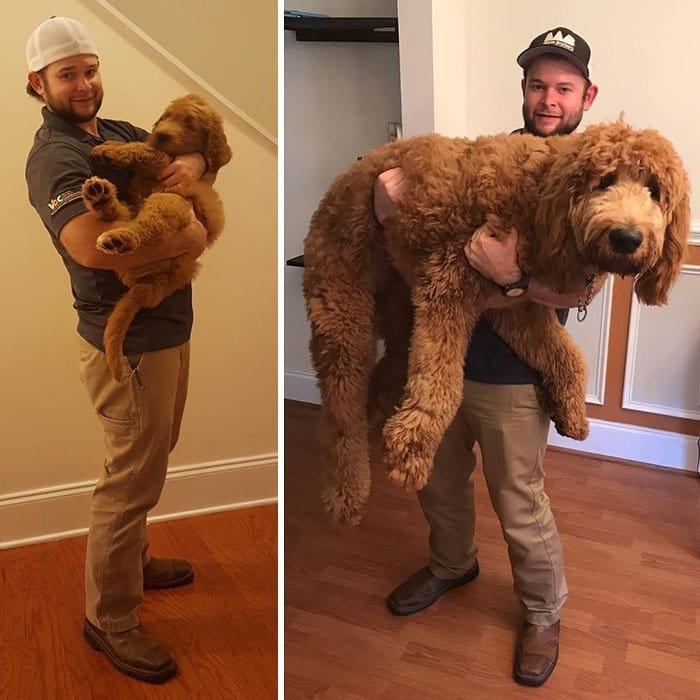 40 adoráveis cães antes e depois de crescer 8