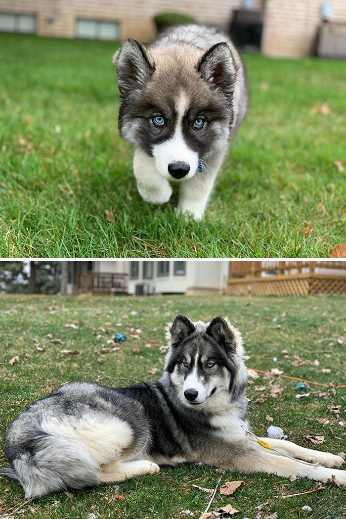 40 adoráveis cães antes e depois de crescer 24