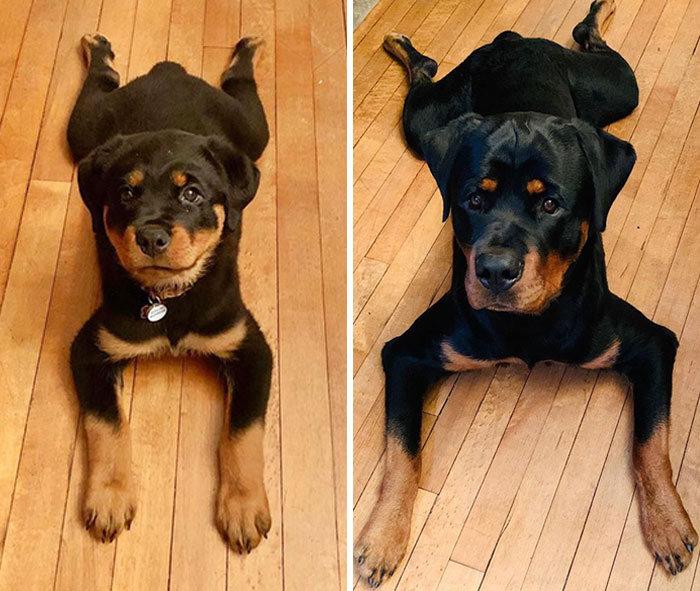 40 adoráveis cães antes e depois de crescer 30