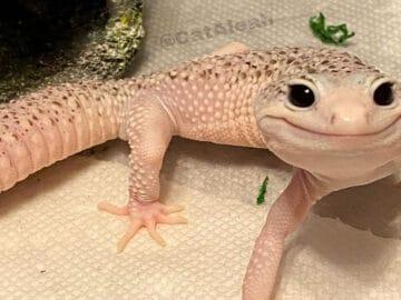 Enzo o lagarto celebridade da internet que sempre está sorrindo 5