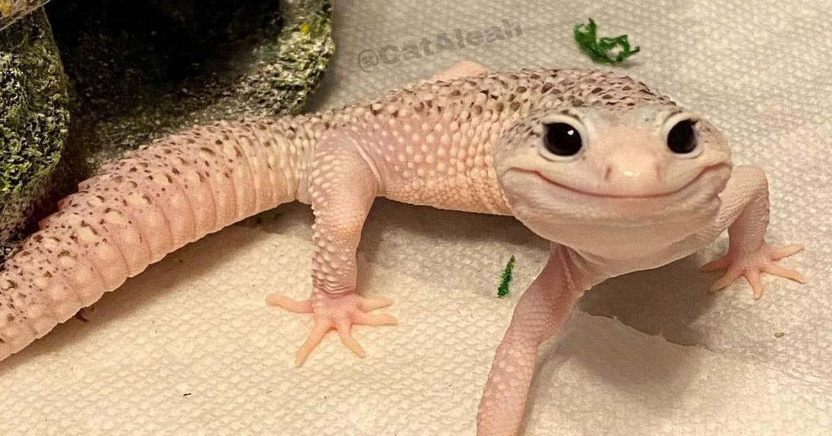 Enzo o lagarto celebridade da internet que sempre está sorrindo 42