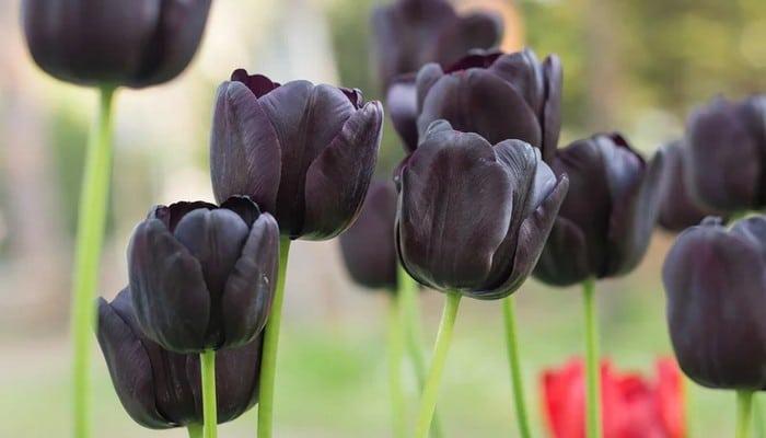 6 flores negras que são lindas e misteriosas 5
