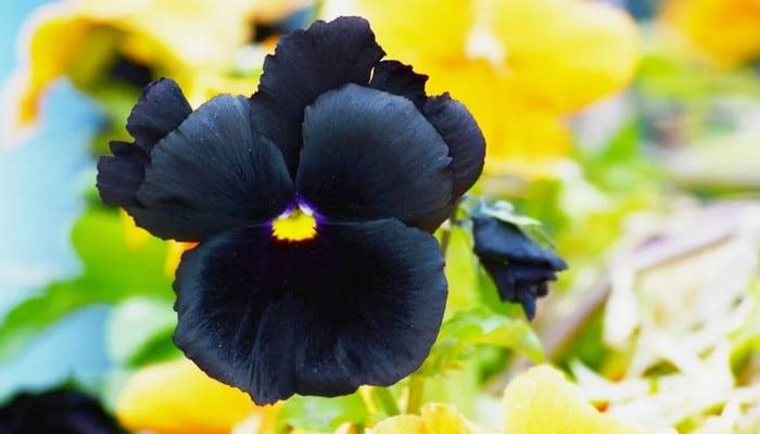 6 flores negras que são lindas e misteriosas 9