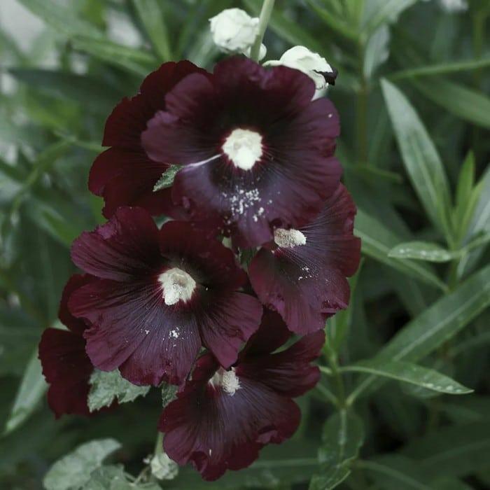 6 flores negras que são lindas e misteriosas 12