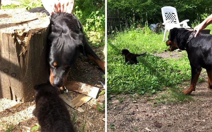 Pantera rejeitada pela mãe conquista internet ao lado do irmão Rottweiler 13