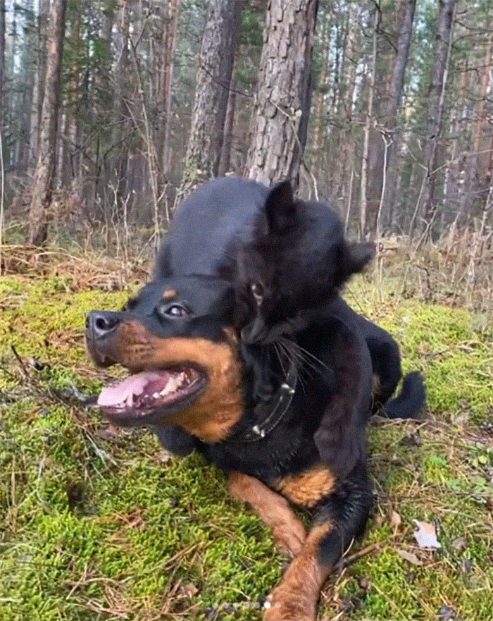 Pantera rejeitada pela mãe conquista internet ao lado do irmão Rottweiler 16