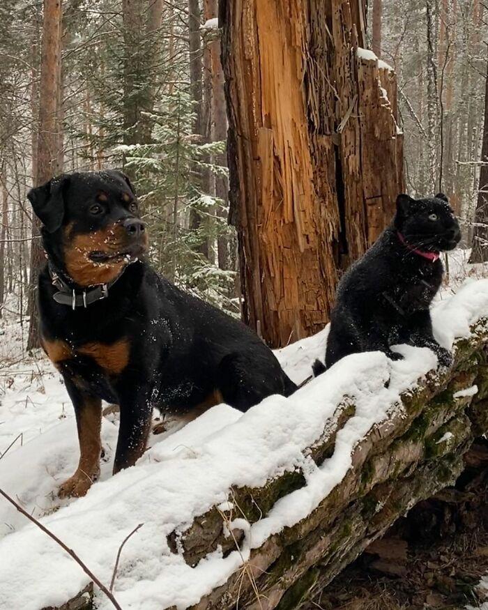 Pantera rejeitada pela mãe conquista internet ao lado do irmão Rottweiler 18