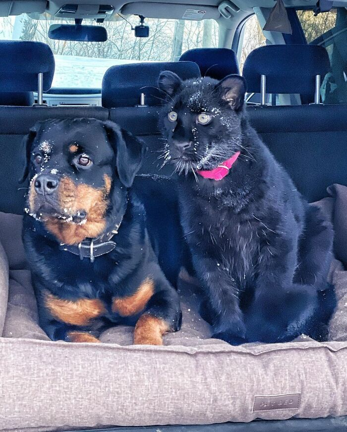 Pantera rejeitada pela mãe conquista internet ao lado do irmão Rottweiler 21