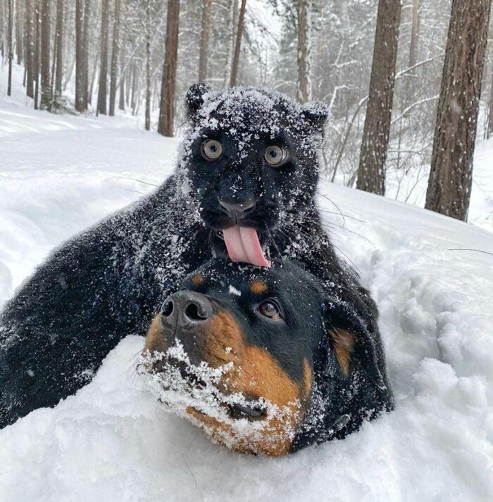 Pantera rejeitada pela mãe conquista internet ao lado do irmão Rottweiler 22