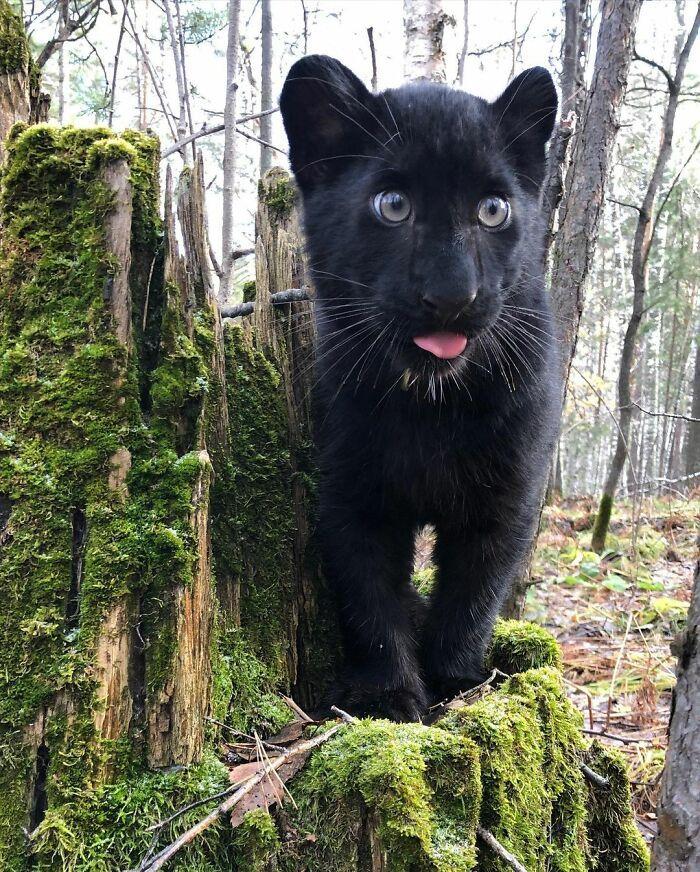 Pantera rejeitada pela mãe conquista internet ao lado do irmão Rottweiler 31